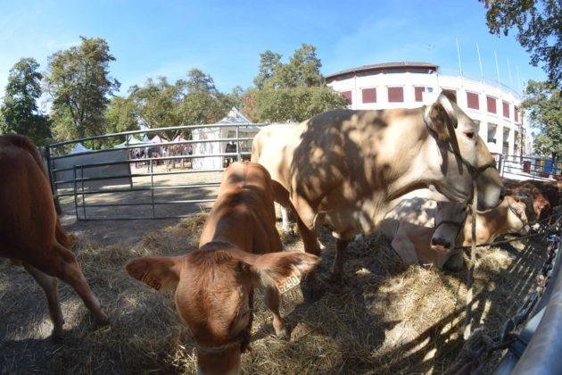 fête du bœuf de chalosse à Dax dans les Landes
